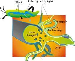 Sistem Pencernaan Insecta