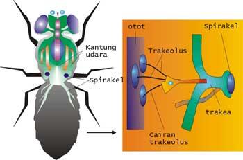 Sistem Pernapasan Insecta