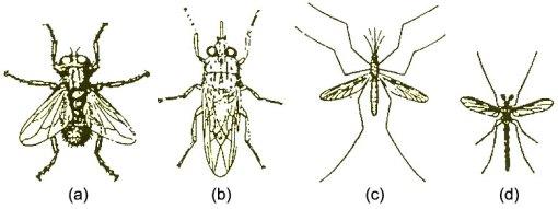 Gambar : (a) lalat rumah (b) lalat Tzetze (c) nyamuk kecil (d) nyamuk